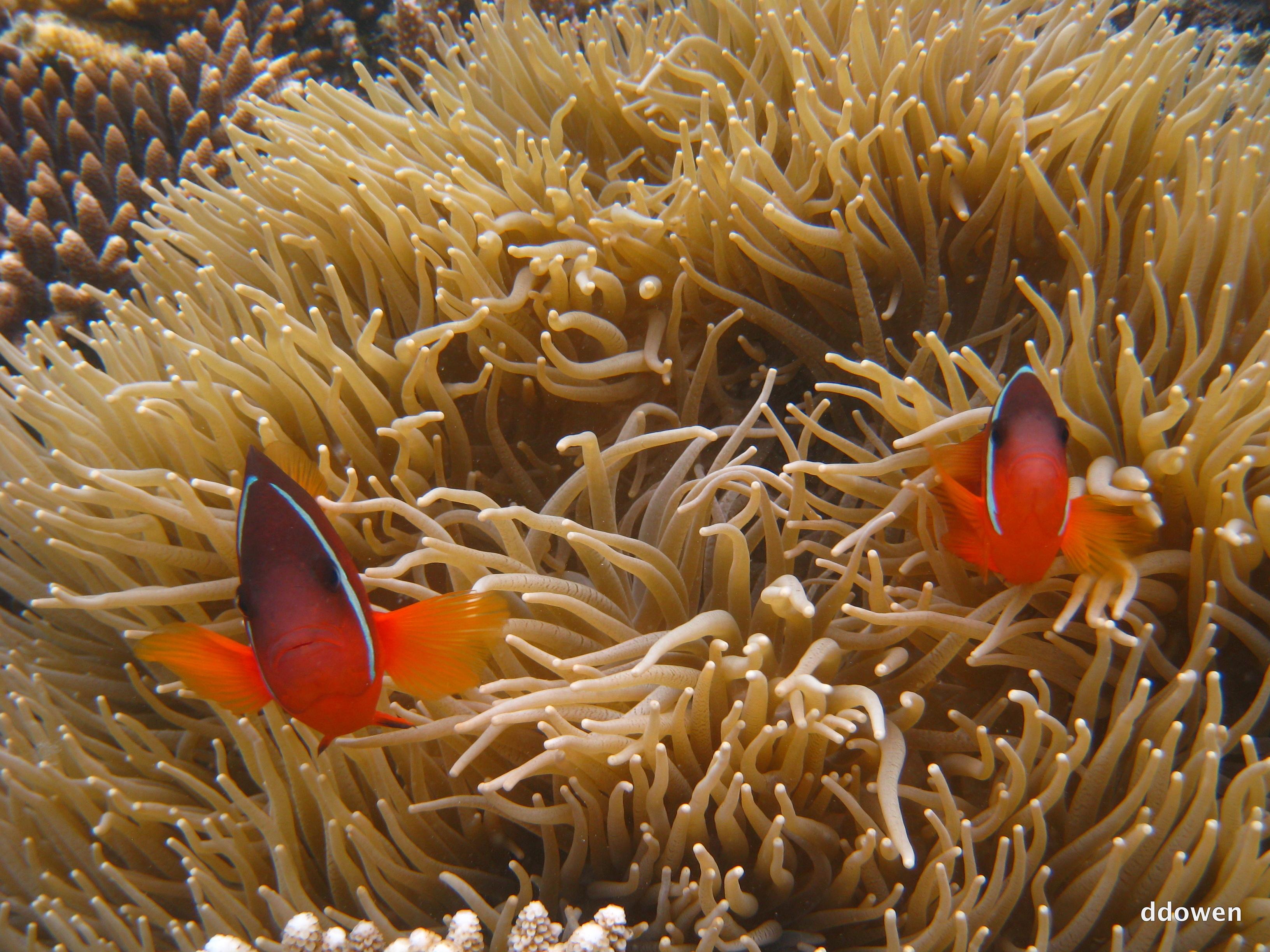 FijiAnemonefishCloseup